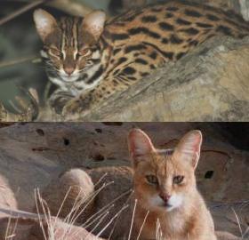 catsynth wild cats catsynth wild cats 280x270