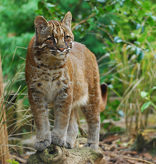 Asian_Golden_cat